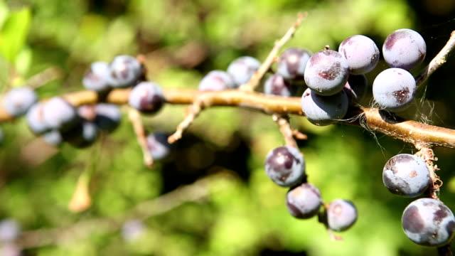 Ripe Sloe berries on a branch video