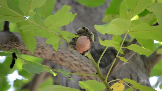 枝に壊れた皮で熟したクルミ。木の上に生えている熟したクルミ - 熟していない点の映像素材/bロール