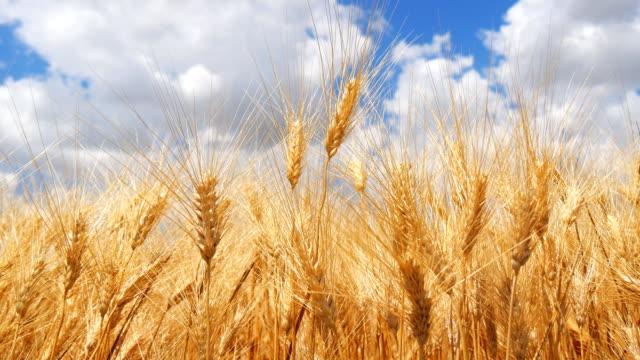 Ripe wheat field, blue sky, white clouds video