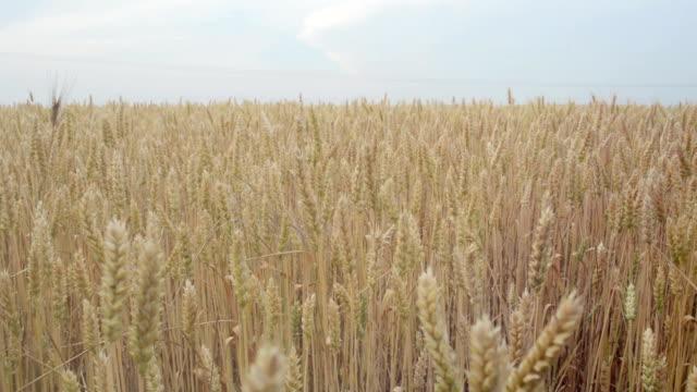 Ripe wheat field. video