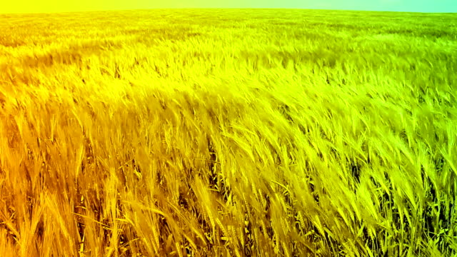 Ripe Wheat Field Waved by Wind Summer Nature Background HD video