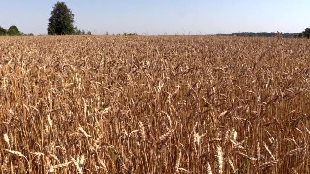 Ripe wheat plant crop ears grow in field. Left side sliding video