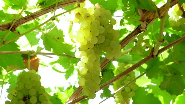 ripe white grape seedless raisin harvest