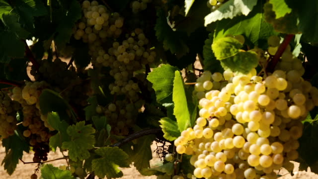 ripe white grapes in vineyard - uva riesling bianco video stock e b–roll