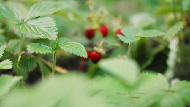 Ripe wild strawberry on bush