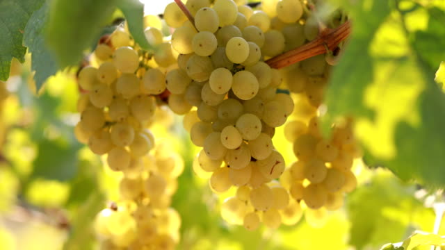 ripe yellow grapes on a vineyard - uva riesling bianco video stock e b–roll