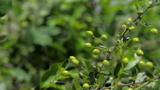 Ripening unripe cherry tree cherries on orchard tree the nature - vídeo
