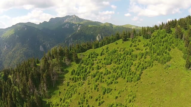 Rising above the picturesque fir forests of the Ciucas Mountains in Romania , Carpathian range , with sheep flock foraging grass on the alpine meadows , aerial view video