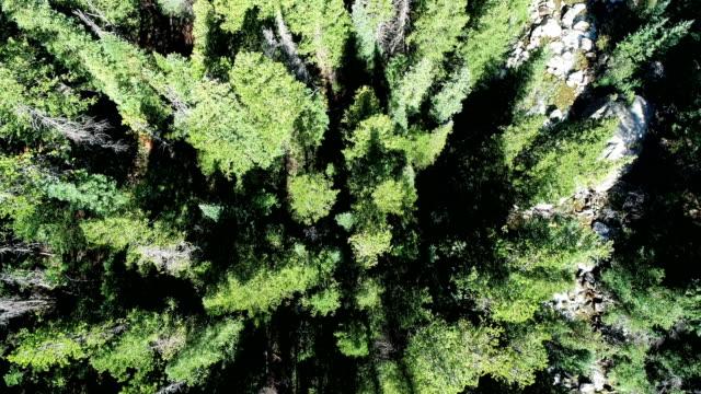 vídeos de stock, filmes e b-roll de opinião aérea de aumentação do zangão da árvore de pinho - independence pass