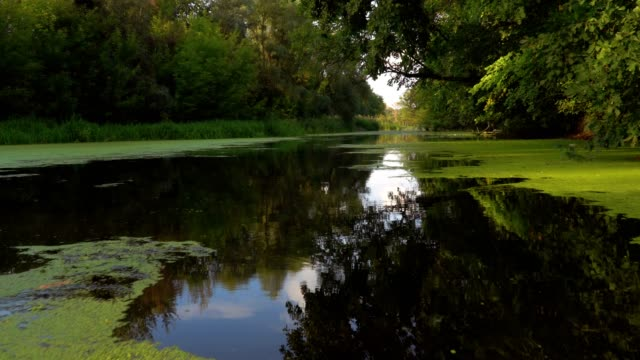 River at sunny morning Calm river in the forest at sunny summer morning duckweed stock videos & royalty-free footage