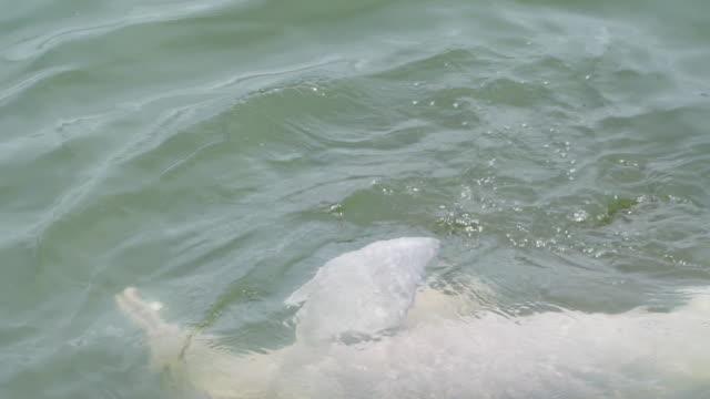 delfino del fiume che si diverte a giocare con i pesci, lanciare e afferrare - acqua dolce video stock e b–roll