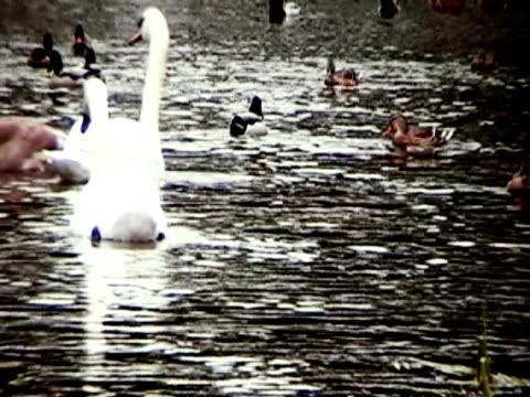 fiume di swans [ ntsc ] - uccello acquatico video stock e b–roll