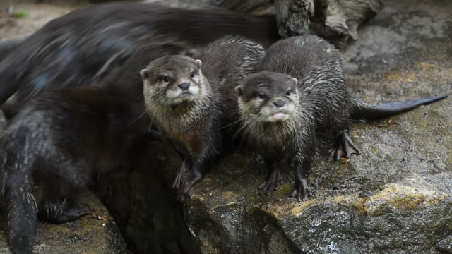 River otters scream and yawn on rocks video