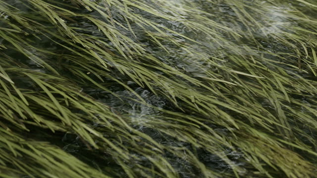 river seaweed video