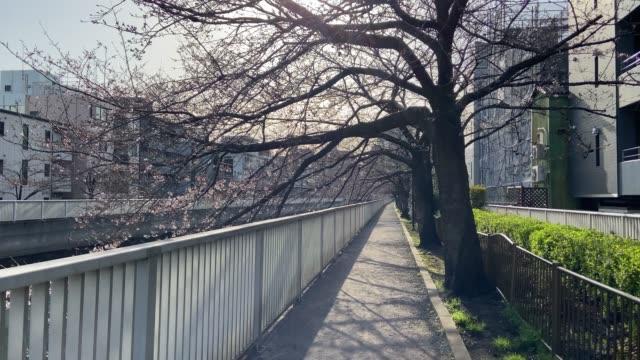 vídeos de stock e filmes b-roll de river side cherry blossoms begins to bloom - passagem de ano