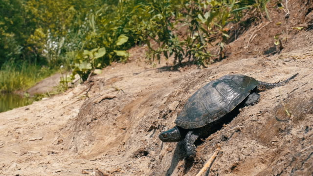 River Turtle Crawling along the Sandy Beach into the River. Slow Motion River Turtle Crawling along the Sandy Beach into the River. Slow Motion in 96 fps. Closu-up. The concept of victory, achievement of the goal, motivation. tortoise shell stock videos & royalty-free footage