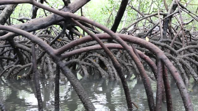 River with mangrove vegetation River with mangrove vegetation wetland stock videos & royalty-free footage