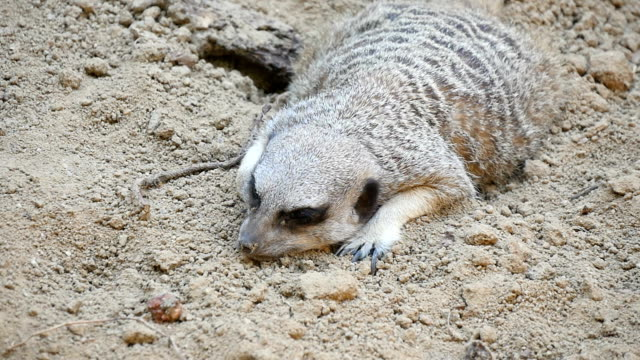 Riveting raccoon lies cautiously near the hole in a rock in some zoo in summer Well masked gray and white raccoon lies lonely near the hole in a gray rock leading to its shelter in some zoo in Eastern Europe on a sunny day in summer. coonhound stock videos & royalty-free footage