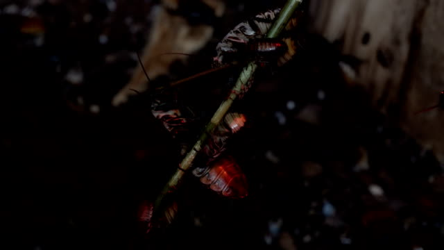 Roaches hang on and eat green twig. video