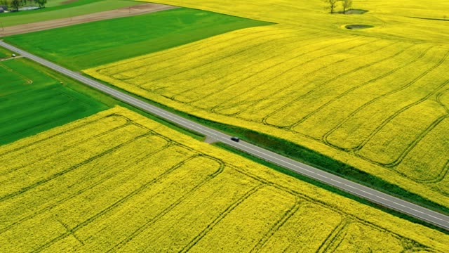 Road between yellow and green rape fields, aerial view Road between yellow and green rape fields, aerial view flowering plant stock videos & royalty-free footage