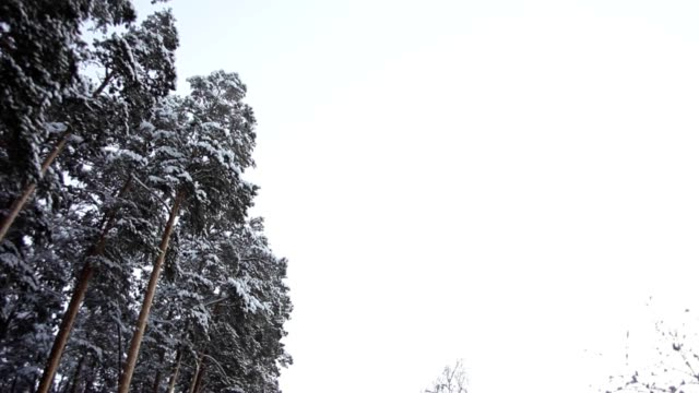 Road in Winter Pine Forest video