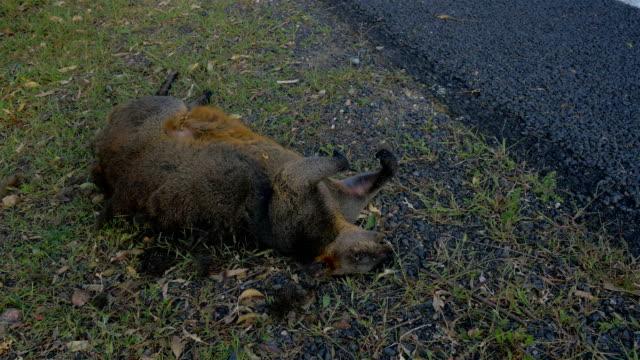 Road kill wallaby Australia 4K footage series dead animal stock videos & royalty-free footage