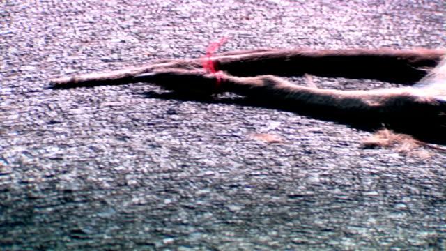 Roadkill, Decaying Dead Kangaroo on Road video