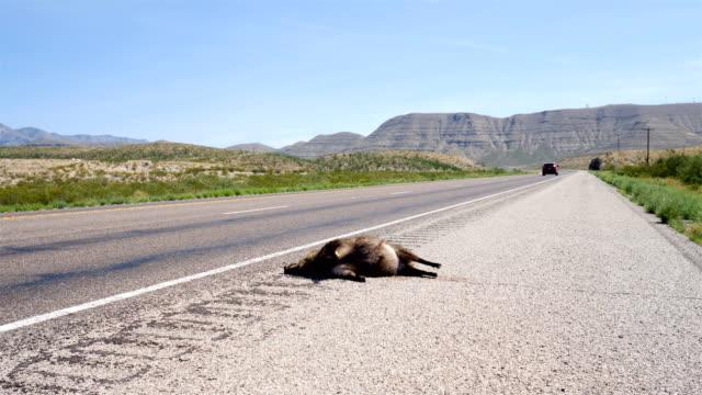 Roadkill Javelina Roadkill Javelina dead animal stock videos & royalty-free footage