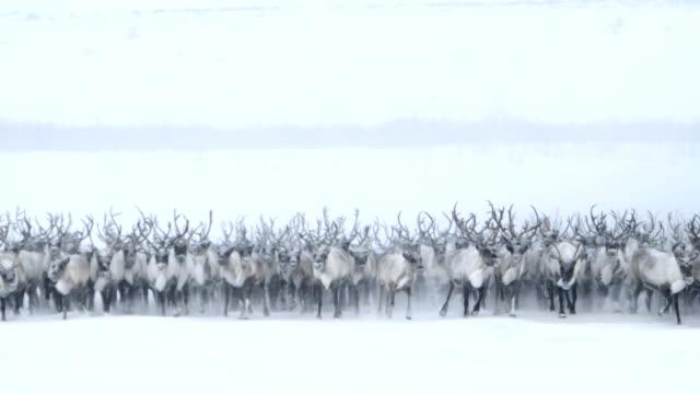 Itinérance Caribou du Nord - Vidéo