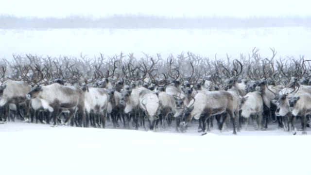 roaming northern caribou - reindeer stock videos and b-roll footage