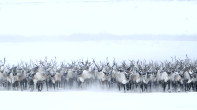 Roaming Northern Caribou
