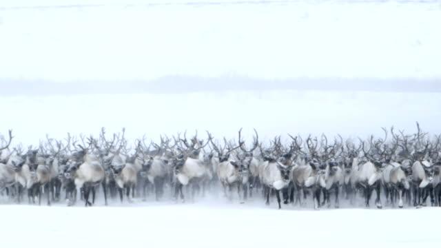 vídeos de stock, filmes e b-roll de itinerância norte caribou - manada