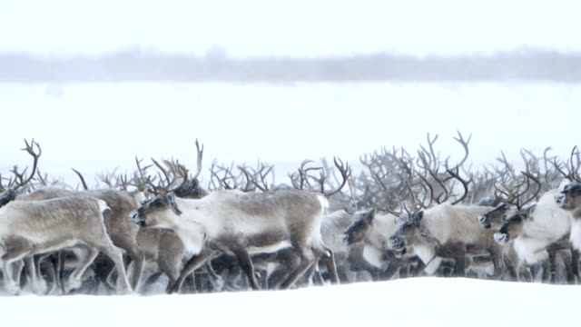 Roaming Northern Caribou video