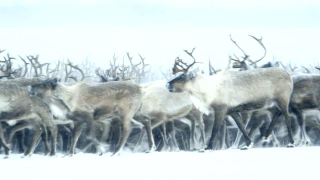 Caribou norte itinerancia - vídeo