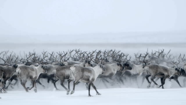 Video Roaming Northern Caribou