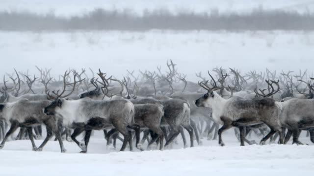 vídeos y material grabado en eventos de stock de caribou norte itinerancia - reno mamífero