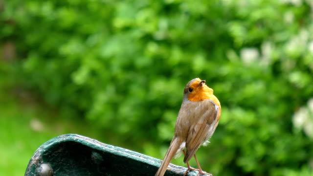 Robin bird has a worm in its beak