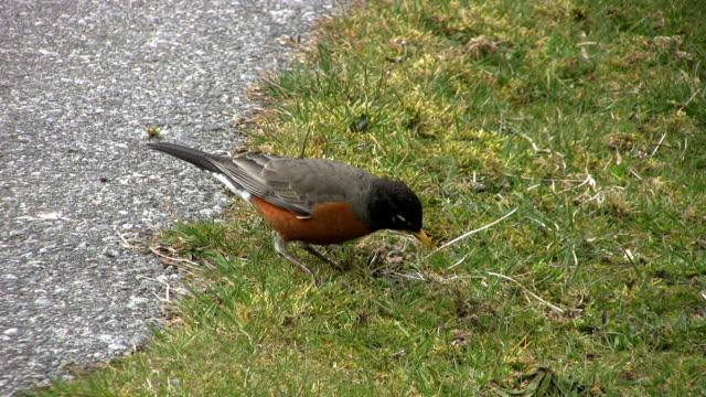 Robin Eating By The Roadside (HD 1080p30) video