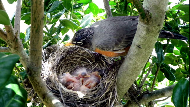 Robin feeding her chicks in nest video
