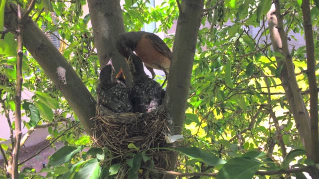 robin feeds babies in a robins nest - młody ptak filmów i materiałów b-roll