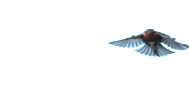 Robin Flying video