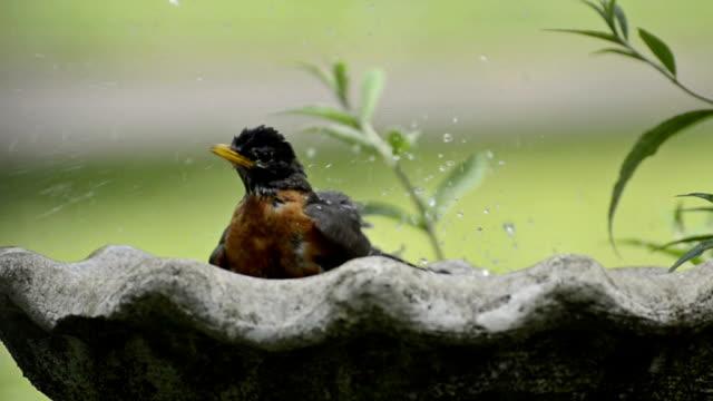Robin in a birdbath video