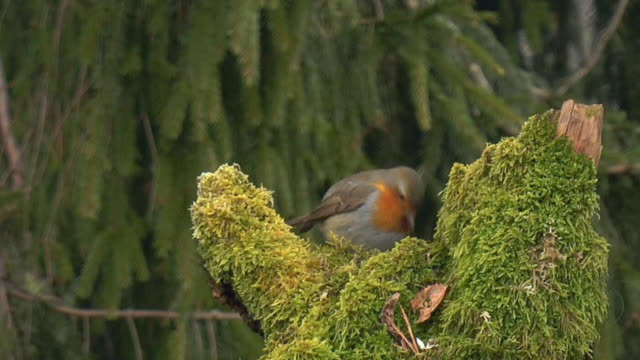 Robin in Early Morning (HD) video
