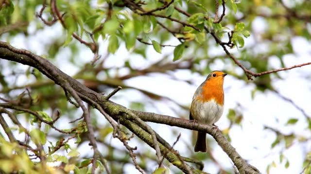 vídeos de stock, filmes e b-roll de robin landing in an urban nas copas das árvores - pássaro