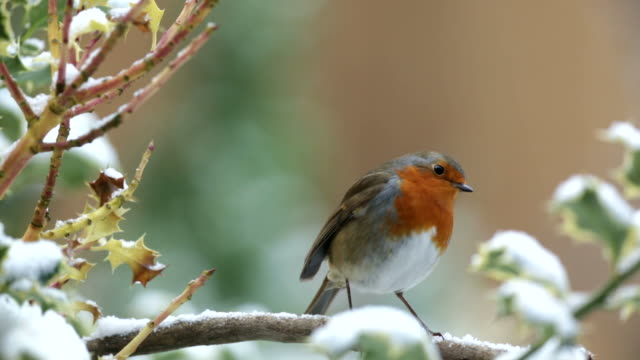 Robin on a snow covered branch
