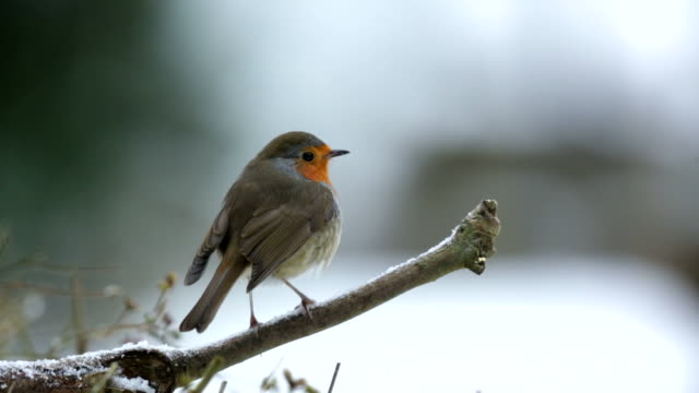 Robin on a snow covered branch video