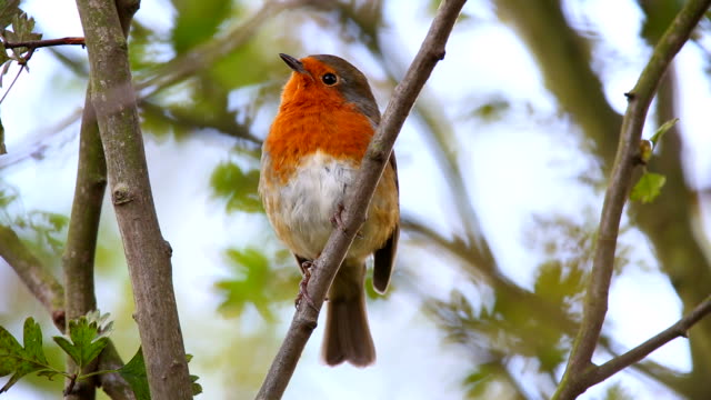 Robin Singing in an Urban Park video