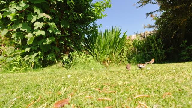 Robin, Sparrows, birds feeding mealworms off a garden lawn on a sunny spring morning. video