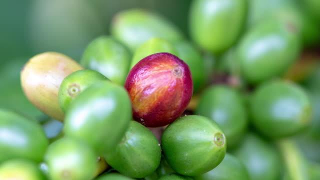 robusta-kaffeebohnen im kaffee-plantage doi mae jum, provinz lampang, thailand - rohe kaffeebohne stock-videos und b-roll-filmmaterial