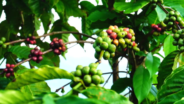 stockvideo's en b-roll-footage met robusta koffieplantage in thailand. - tropisch fruit
